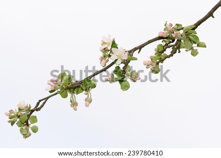 Blooming apple tree branch on a background of bright sky - stock photo