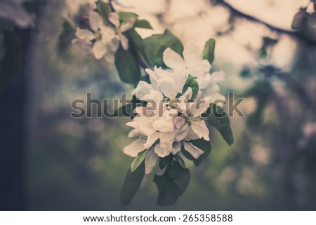 Blooming apple tree branches background. Horizontal filtered shot - stock photo