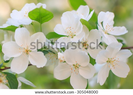 Blooming apple tree flower - stock photo