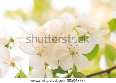 Blooming apple tree flower closeup  in sunset