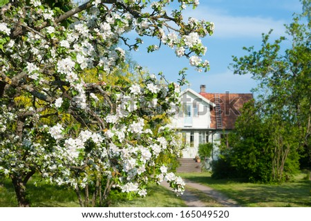Blooming apple tree in front of a farmhouse in the swedish countryside, island Oeland, Sweden - stock photo