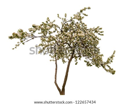 blooming apple tree isolated on white background