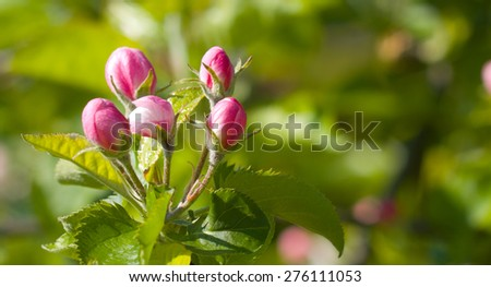 Blooming apple tree macro