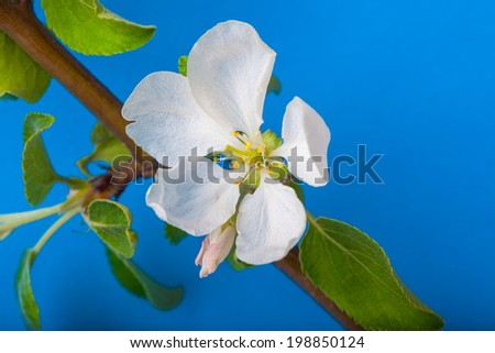 Blooming apple-tree twig - stock photo