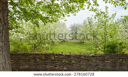 Blooming Apple trees fenced wicker fence - stock photo
