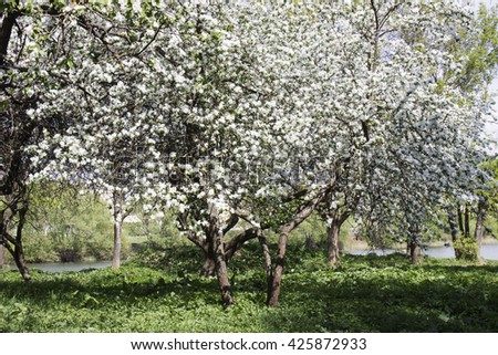 Blooming apple trees in the garden near the stream / Flowering Apple Trees near the Stream.