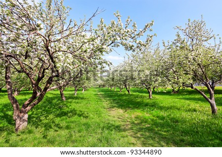 Blooming apple trees over blue sky in spring park - stock photo