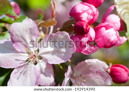 Blooming apple trees. Pink spring flowers. Young leaves. Macro. (soft focus). - stock photo