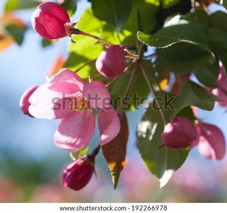 Blooming apple trees. Rose spring flowers. Young leaves. Spring. (soft focus). - stock photo
