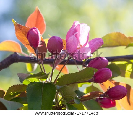 Blooming apple trees. Spring rose flowers. Young leaves. Spring. (soft focus). - stock photo
