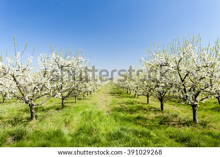 blooming apricot orchard - stock photo