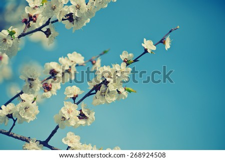 Blooming apricot-tree on blue sky background, spring is coming. Cross process picture. Film effect.  - stock photo