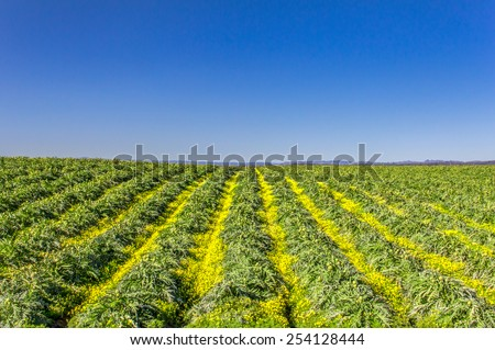 Blooming Artichoke Field with Yellow Flowers in California Central Coast - stock photo