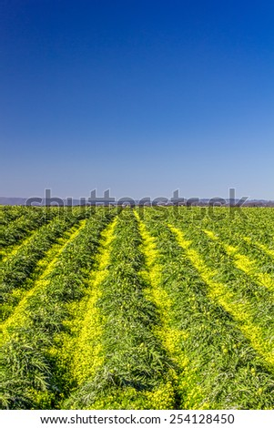 Blooming Artichoke Field with Yellow Flowers in California Central Coast Vertical Image - stock photo