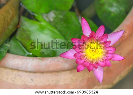 Blooming Asian water lily