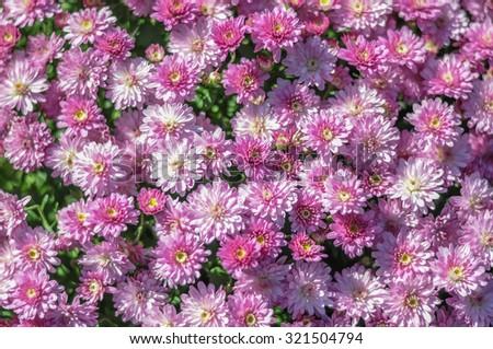 Blooming Autumn Mummm Plant  - stock photo