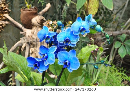 Blooming beautiful blue orchid in the garden - stock photo