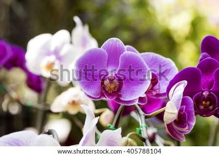 blooming beautiful of Phalaenopsis Orchid in the garden.