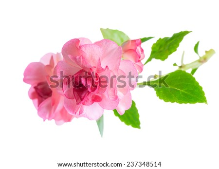 blooming beautiful twig of pink Impatiens flowers is isolated on white background, closeup - stock photo