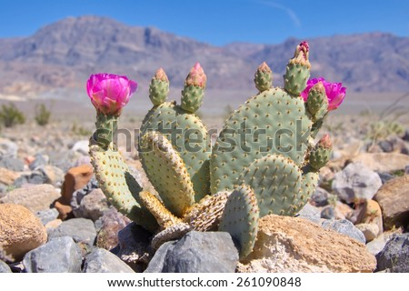 Blooming Beavertail Cactus in Death Valley - stock photo