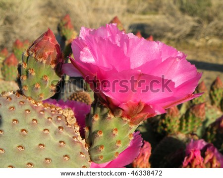 Blooming beavertail cactus in the desert of California - stock photo