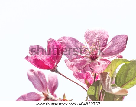 Blooming begonia against white background