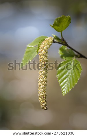 Blooming birch, closeup shot with shallow DOF - stock photo