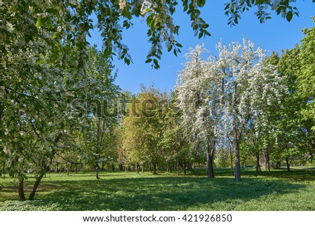 Blooming bird-cherry and apple trees in the park in Moscow