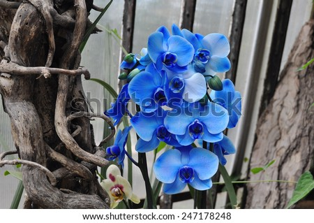 Blooming blue orchid in the garden - stock photo