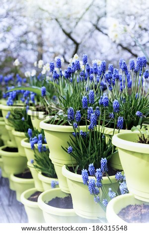 Blooming bluebells in flower pots - stock photo