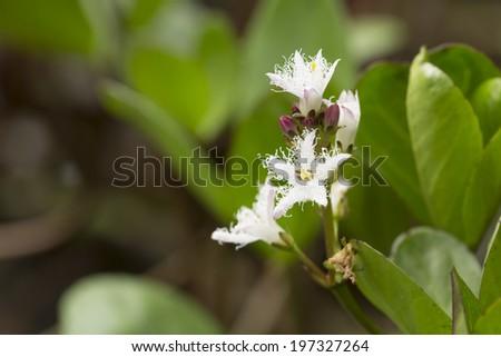 Blooming Bogbean, Menyanthes trifoliata - stock photo