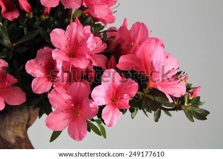 blooming bonsai azalea - stock photo