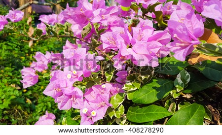 Blooming bougainvillea colorful paper flower stock photo royalty blooming bougainvillea colorful paper flower mightylinksfo
