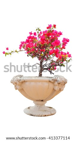 blooming bougainvillea in pot on white background