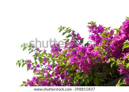 Blooming bougainvilleas isolated on white background