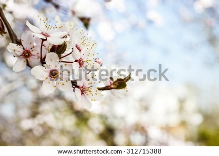 Blooming branch of cherry tree. Beautiful spring landscape - stock photo