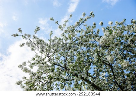 Blooming branches of the apple tree against the blue sky background. - stock photo