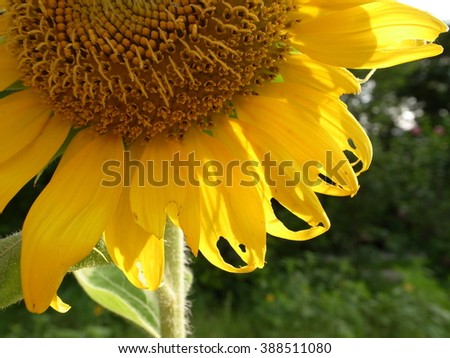 Blooming bright yellow sunflowers. Yellow petals and green stem. - stock photo
