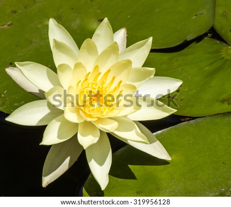 Blooming bright yellow water lily  in pond during summer day. - stock photo