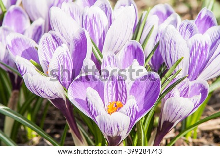 blooming bud, striped crocus on the ground