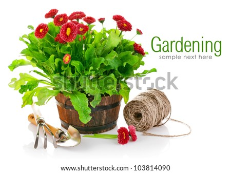 blooming bush daisies in pot with garden tools isolated on white background - stock photo