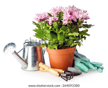 blooming bush flowers in pot with garden tools isolated on white background - stock photo