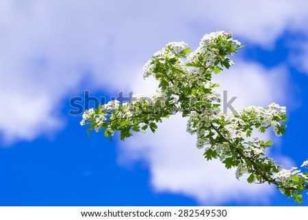 Blooming bush of hawthorn on blue sky. Beautiful white springtime blooming tree - stock photo