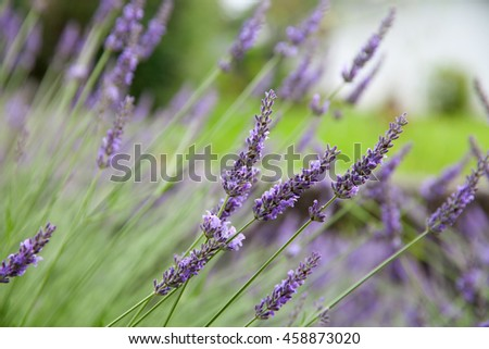 Blooming bush of lavender - stock photo