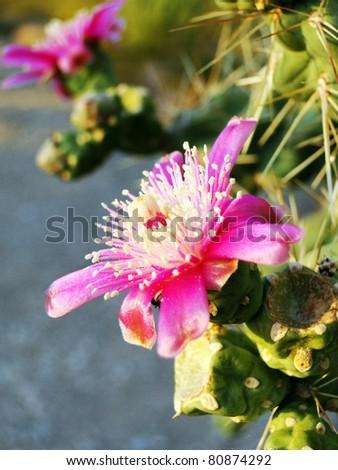 Blooming Cactus - stock photo