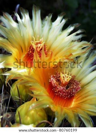 Blooming Cactus Barrel - stock photo