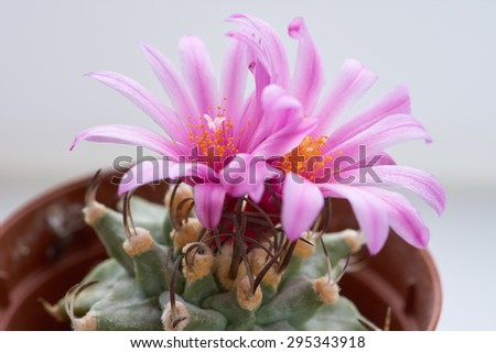 Blooming cactus with two pink beautiful flowers. Turbinicarpus alonsoi                             - stock photo