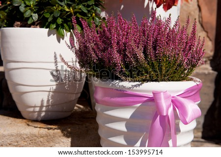 Blooming Calluna vulgaris or heather or ling plant grow in white flowerpot with pink bow, sunny autumn day, photo taken in Warsaw, Poland. - stock photo