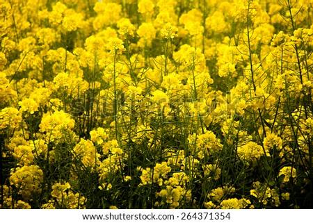 Blooming canola field - Rape flower on the field in summer - stock photo