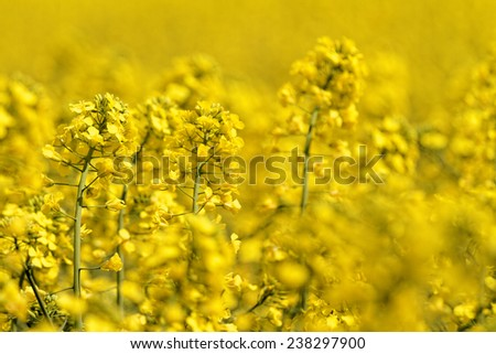 Blooming canola field - Rape on the field in summer - stock photo